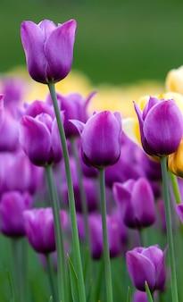 Trawnik z fioletowymi tulipanami, widok z dołu, w tle żółte tulipany.