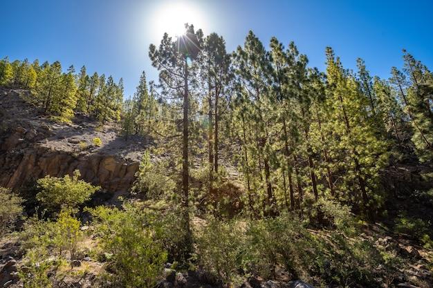 Trekking przez las wulkanu teide na teneryfie w hiszpanii