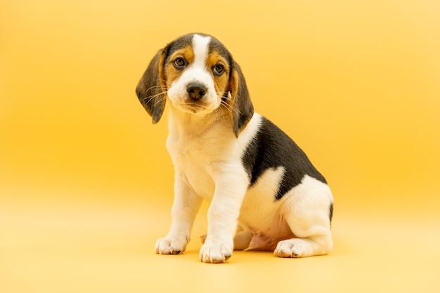 Tricolor beagle szczeniak siedzący patrząc na kamerę z delikatnym spojrzeniem, żółte tło