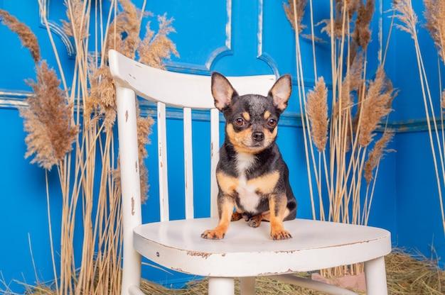 Tricolor chihuahua. pies chihuahua siedzi na białym krześle. portret zwierzaka psa