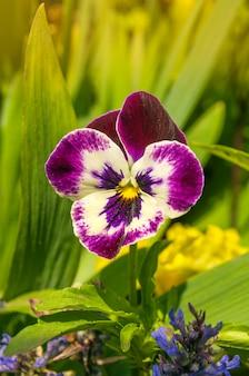 Tricolor kwiat bratek kwiat