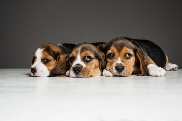 Tricolorowe szczenięta rasy beagle pozują