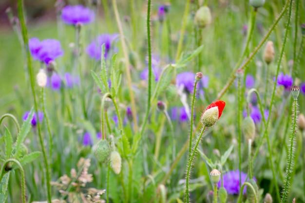 Trochę piękna czerwony pąk róży w zielonym polu otoczonym fioletowymi kwiatami
