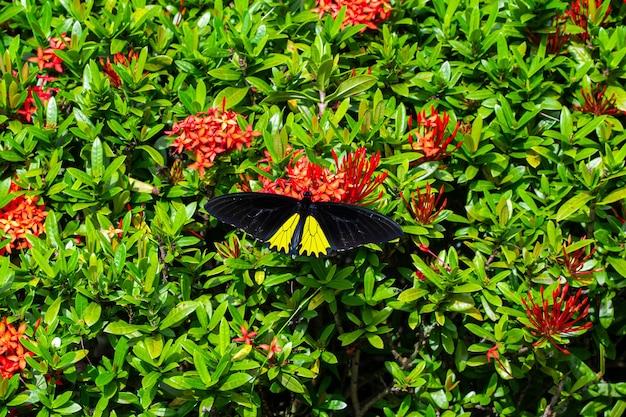 Troides tropikalny motyl helena zapyla kwiaty w ogrodzie.