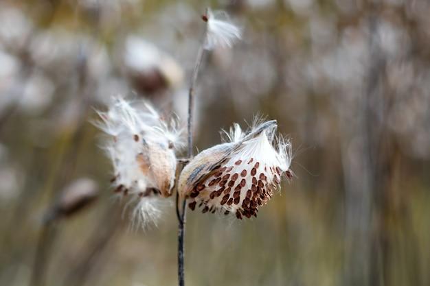 Trojeść pospolita, asklepias syriaca. kwiat motyla lub mieszek włosowy z latającymi suchymi nasionami wczesną jesienią