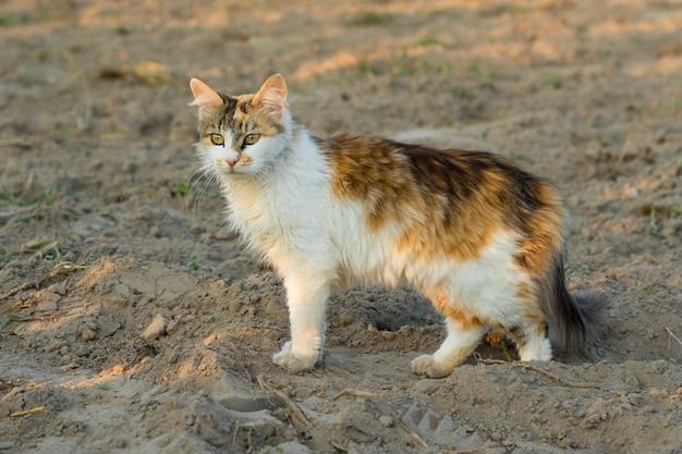 Trójkolorowy kot na polowaniu w polu