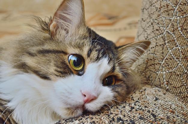 Trójkolorowy kot na poręczy sofy. zbliżenie.