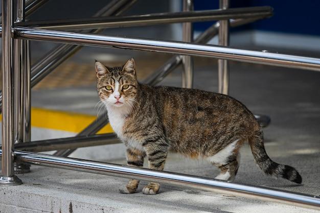 Trójkolorowy kot z zielonymi oczami wygląda spokojnie i spaceruje po ulicy