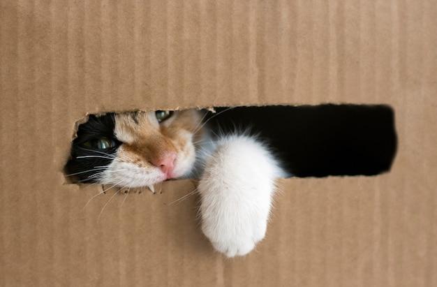 Trójkolorowy kotek gryzie kartonowe pudełko. kitty wyjęła łapę z pudełka. odosobniony