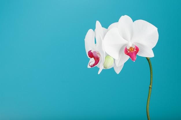 Tropikalna biała orchidea na błękitnym tle. wolna przestrzeń, przestrzeń do kopiowania