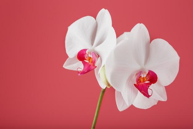 Tropikalna biała orchidea na różowym tle. wolna przestrzeń, przestrzeń do kopiowania