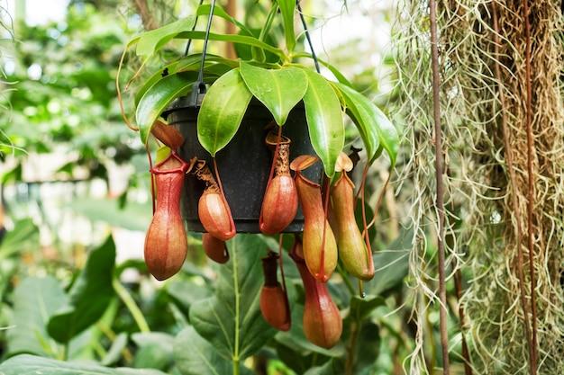 Tropikalna roślina dzban nepenthes burkei z bliska