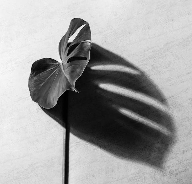 Tropikalna roślina liściasta monstera z cieniem na szarym tle, fotografia czarno-biała