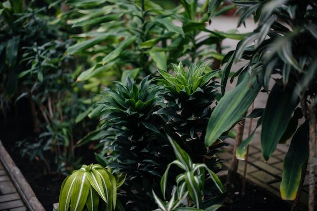 Tropikalna roślina z bliska w gęstych zaroślach dżungli. kraje tropikalne