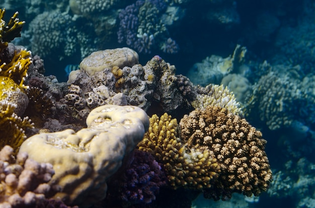 Tropikalna ryba i koralowce w morzu czerwonym, egipt.