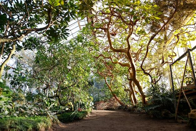 Tropikalna szklarnia z wiecznie zielonymi roślinami kwitnącymi, skręcającymi drzewa w słoneczny dzień z pięknymi promieniami słońca i słońca