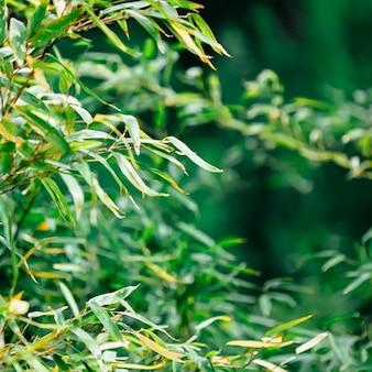 Tropikalne bambusowe tło świeże liście na drzewie jako koncepcja ekologii przyrody i środowiska