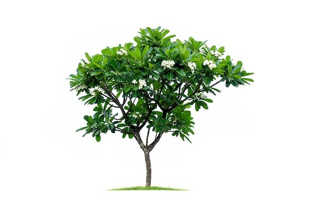 Tropikalne drzewo na białym tle na białym tle. plik zawiera ścieżkę przycinającą, dzięki czemu jest łatwa w obróbce.