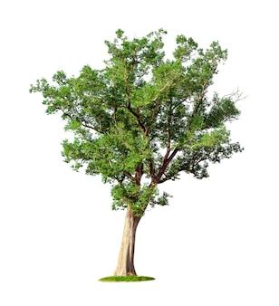 Tropikalne duże drzewo na białym tle na białym tle. plik zawiera ścieżkę przycinającą, dzięki czemu jest łatwa w obróbce.