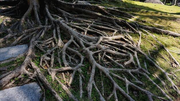 Tropikalne korzenie drzew w chinach. tropikalny czas letni