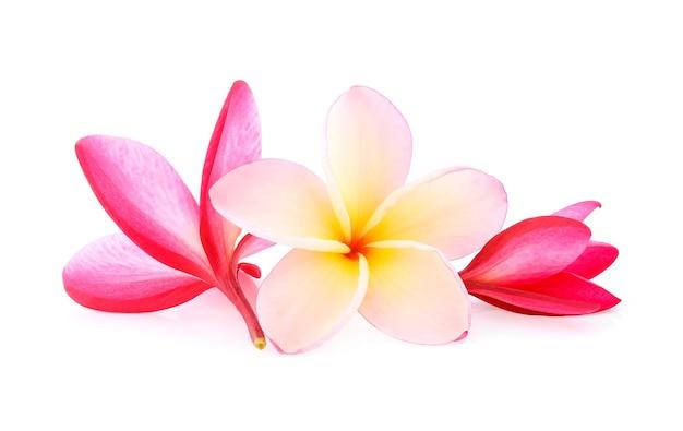 Tropikalne kwiaty frangipani (plumeria) na białym tle