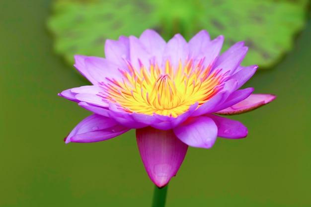Tropikalne kwiaty lotosu