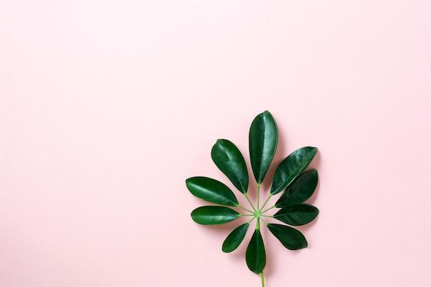 Tropikalne liście monstera na różowym tle. liść zielonej rośliny monstera na różowym tle z miejsca kopiowania. widok z góry.