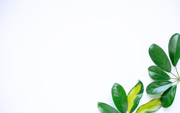 Tropikalne liście na białym tle. liść dżungli z bliska. koncepcje natury botanicznej. projektowanie elementów kwiatowych, zielone liście. kopiuj wklej.