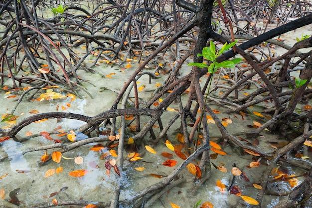 Tropikalne mangrowe w tajlandii.