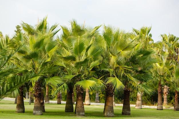 Tropikalne palmy kokosowe