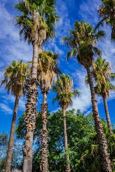 Tropikalne palmy w barcelonie, hiszpania