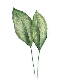Tropikalne zielone liście akwarela malowane na biało