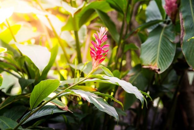Tropikalny czerwony kwiat imbiru