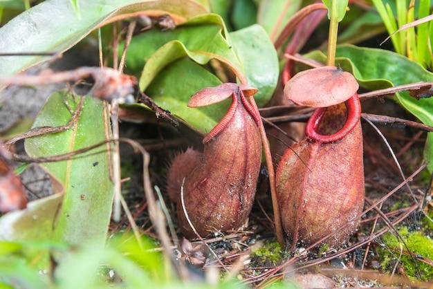 Tropikalny dzban rośliny lub małpa kubki w parku narodowym.