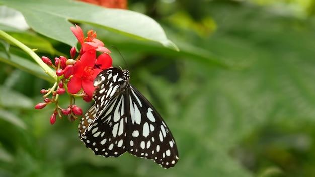 Tropikalny egzotyczny motyl w dżungli, siedząc na zielonych liściach, makro z bliska