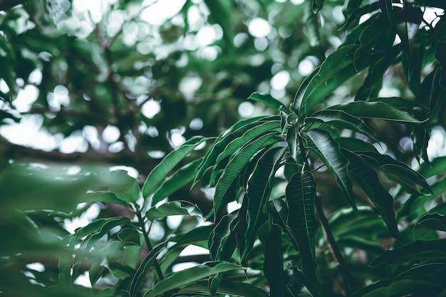 Tropikalny letni liść mango w tle