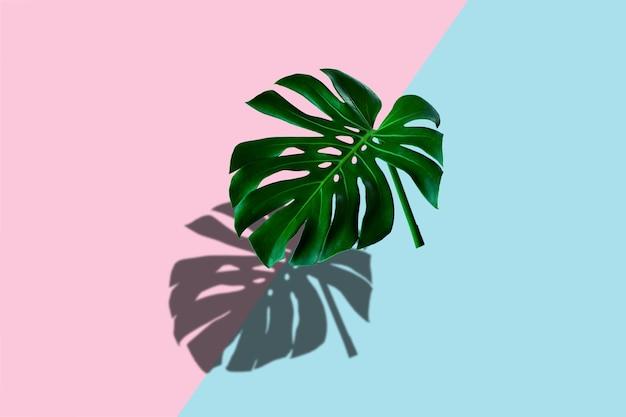 Tropikalny liść monstery z cieniem na pastelowym niebieskim i różowym kolorze tła
