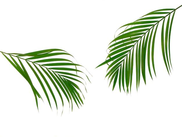 Tropikalny liść palmowy na białym tle