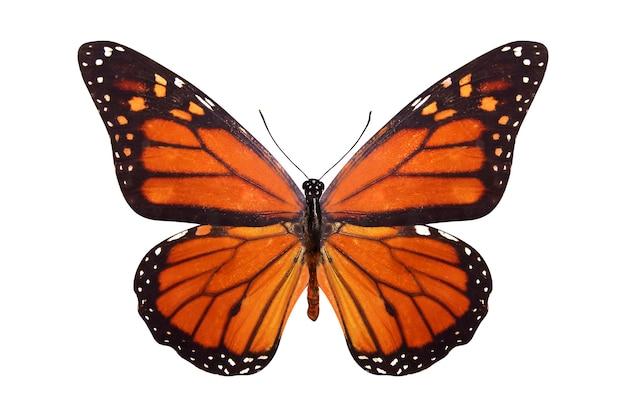 Tropikalny motyl danaus plexippus. na białym tle