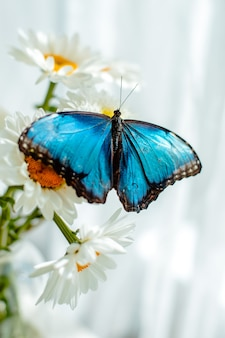 Tropikalny motyl morpho siedzi na białym kwiacie w bukiecie dużych stokrotek i gerber