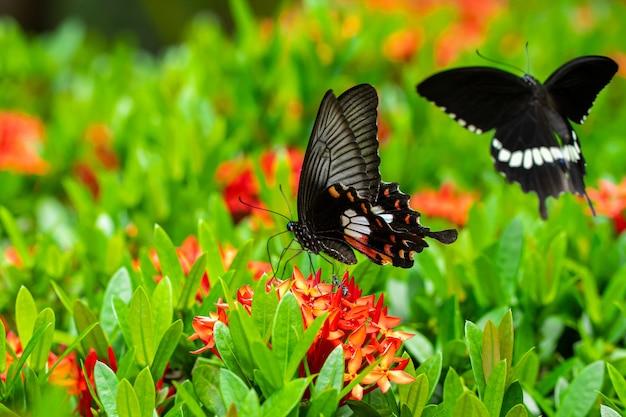 Tropikalny motyl pije nektar kwiatowy na klombie na podwórku