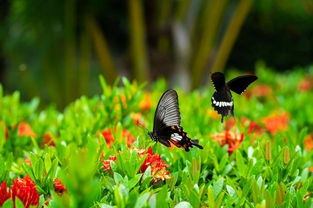 Tropikalny motyl pije nektar z kwiatów na klombie w ogrodzie