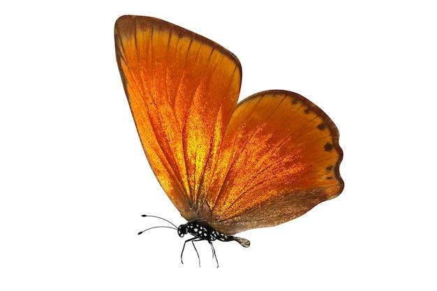 Tropikalny motyl pomarańczowy. na białym tle