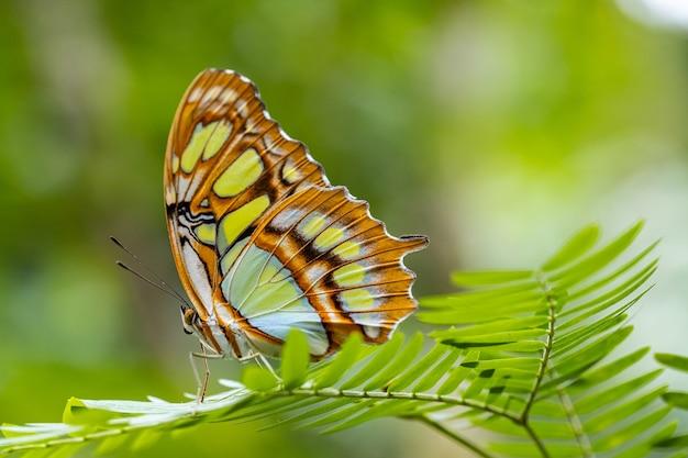 Tropikalny motyl siproeta stelenes lub malachitowy motyl na liściach w ogrodzie