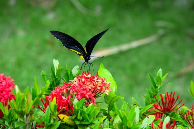 Tropikalny motyl troides helena zapyla kwiaty w ogrodzie.
