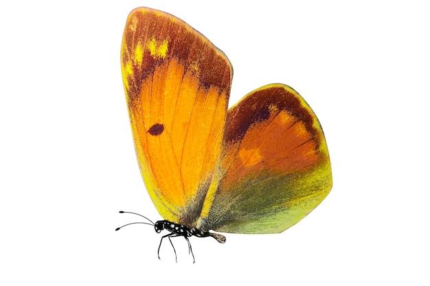 Tropikalny motyl z żółtymi i zielonymi skrzydłami.