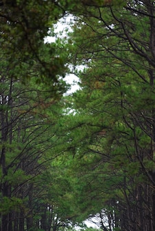 Tropikalny sosnowy las w tajlandii