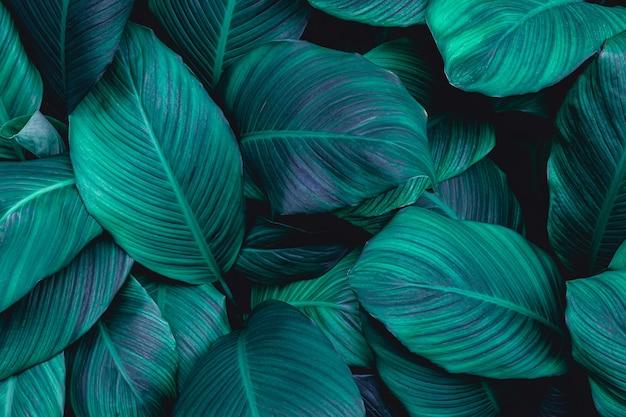 Tropikalny spathiphyllum cannifolium pozostawia tło natury