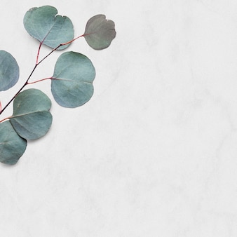 Tropikalny tło eukaliptusa