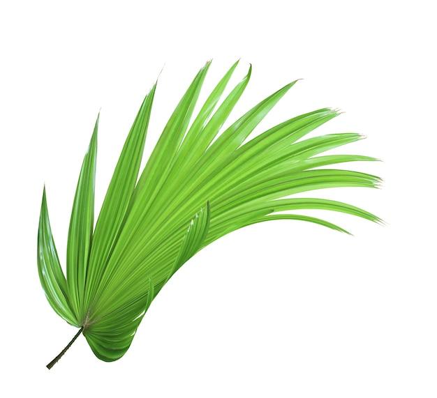 Tropikalny zielony chiński wiatrak palmowy liść na białym tle